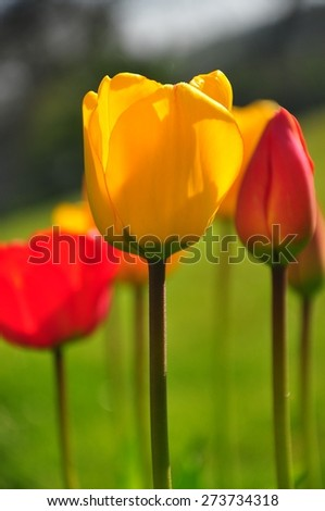 Closeup of Red and Yellow Tulips - stock photo