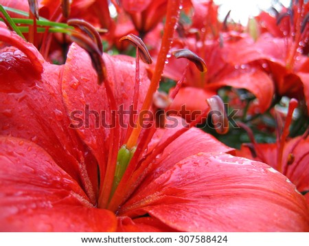 closeup of red beautiful lily with raindrops - stock photo