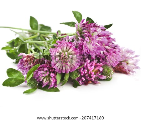 Closeup of red clover flower (Trifolium pratense) isolated on white background - stock photo