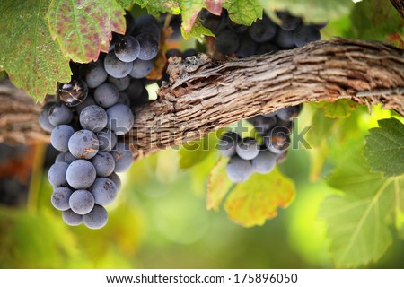 Closeup of red grapes on old vine, blurred green background. - stock photo