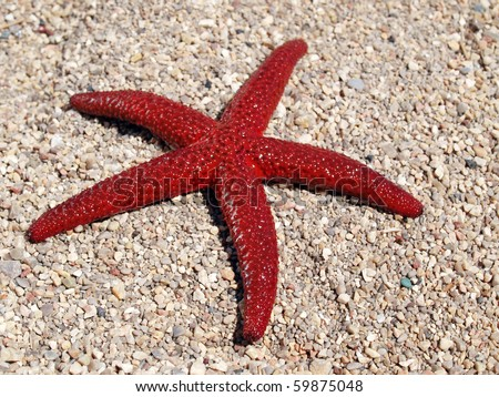 closeup of red Mediterranean five point starfish on sandy beach in Montenegro - stock photo