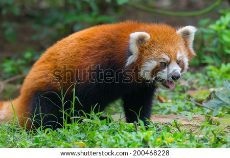 Closeup of red panda bear - stock photo