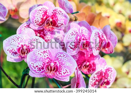 Closeup of red pink orchid phalaenopsis. Beautiful orchid flower blooming. Bouquet of orchid flower. Orchid background for design. Orchid flower of Thailand. - stock photo