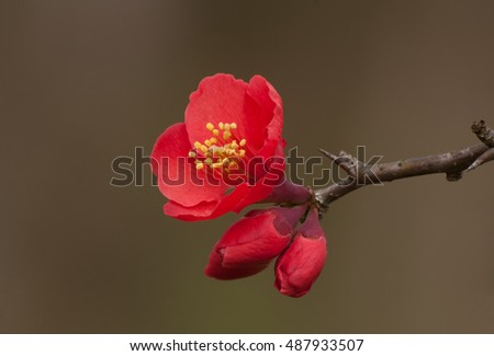 Closeup of red quince flower and buds, also called chaenomeles, against muted background