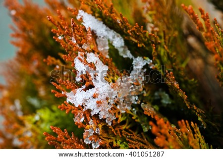 Closeup of red thuja tree branches covered with snow