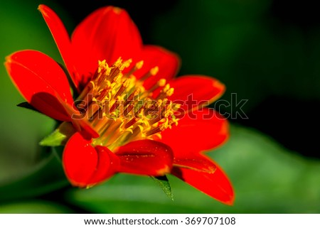 closeup of red Zinnia flower - stock photo
