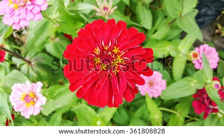 closeup of red Zinnia flower in full bloom - stock photo