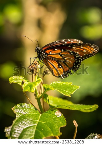 Closeup of Reina Queen butterfly on spray of leaves