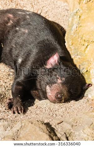 closeup of resting Tasmanian devil - stock photo
