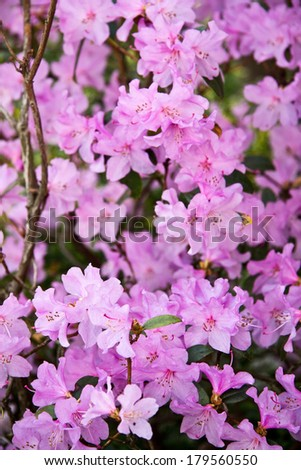 Closeup of rhododendron flowers vertical - stock photo