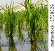 Closeup of Rice Seedlings -- the seedlings will later be separated and planted in rows - stock photo