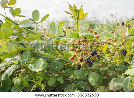 Closeup of ripe and ripening brambles growing in a wild nature reserve area on a blackberry or Rubus fruticosus bush. - stock photo