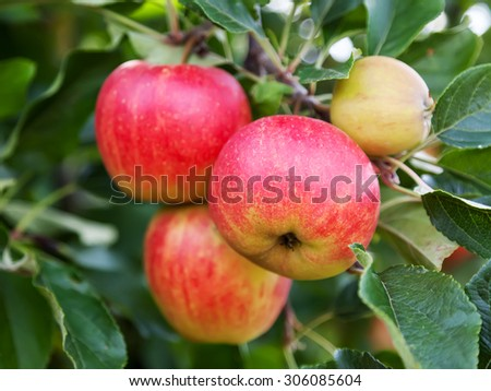 Closeup of ripe apples on a branch - stock photo