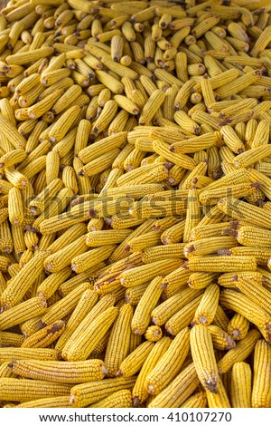 Closeup of ripe corn in autumn - stock photo