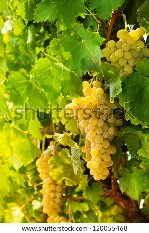 closeup of ripe juicy white grape hanging on vine - stock photo