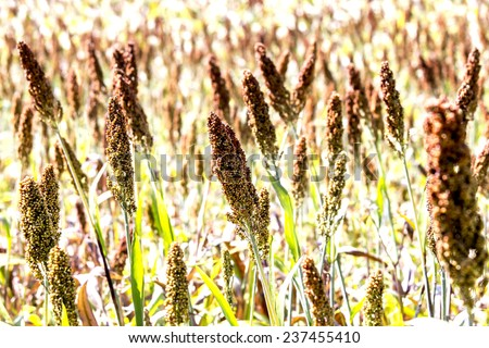 Closeup of  ripe  millet or sorghum in farmland.Millet in focus only center. - stock photo