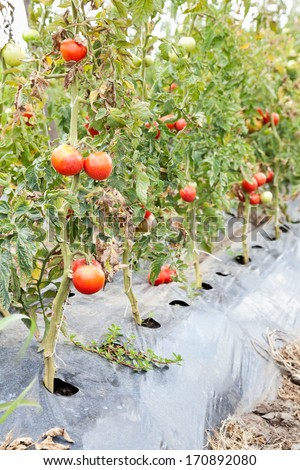 closeup of ripe tomatoes on bushes with selective focus and copy space - stock photo