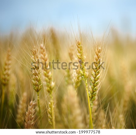 Closeup of ripe wheat ears with selective focus - stock photo