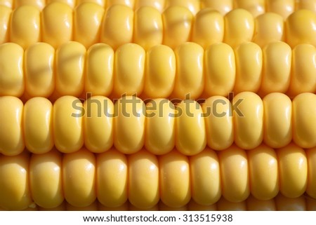 Closeup of ripe, yellow corn kernels, set in neat rows. Textured background. Organic agriculture, raw materials, ingredients and food industry concept.  - stock photo