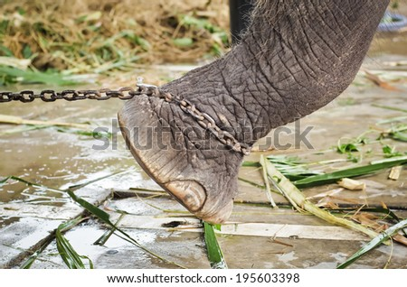 Closeup of sad elephant's foot tied to a chain - stock photo