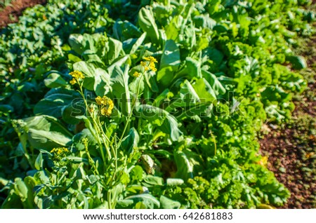 Closeup salad lettuce head celery growing stock photo download now closeup of salad lettuce head and celery growing in vegetable garden with yellow flowers mightylinksfo