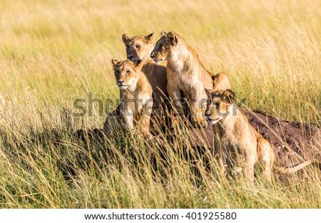 Closeup of several young lions lying down in the grass during an early morning in the Masai Mara National Reserve in Kenya, Africa.