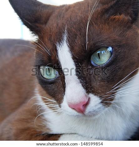 Closeup of short hair cat  - stock photo