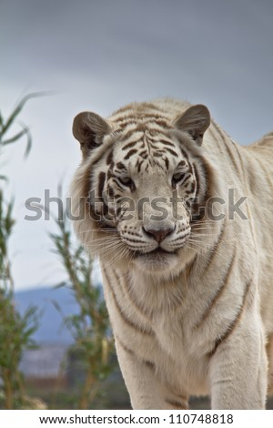 Closeup of Siberian Tiger's head and chest, looking toward camera