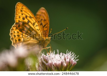 Closeup of Silver-washed Fritillary (Argynnis paphia) butterfly in nature.Copy space. - stock photo