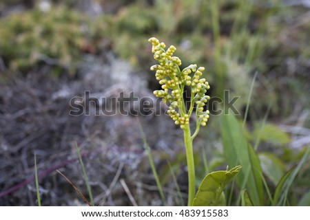 Closeup of single Common Moonwort (Botrychium lunaria) fertile frond, photographed at rocky coastal area in Nordland, Norway.