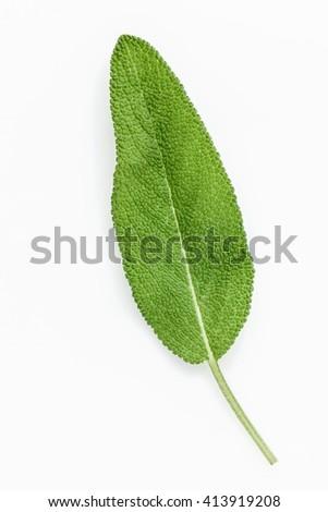 Closeup of single fresh sage leaves isolated on white background . - stock photo