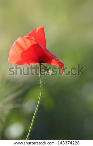 closeup of single red poppy blown by the wind - stock photo