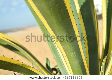 Closeup of Sisal or Agave sisalana green leaves copy space background