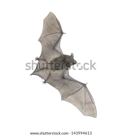 Closeup of small bat flying,isolated on white