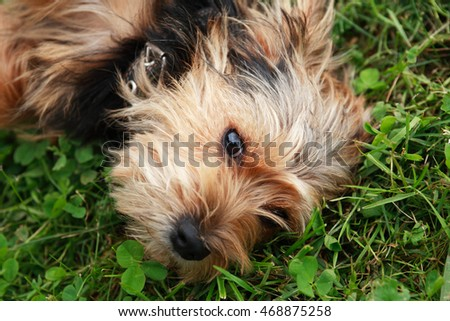 Closeup of small funny dog lying on grass and looking to camera