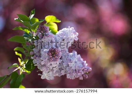 Closeup of small light violet lilac brunch against blured cherry blossoms - stock photo