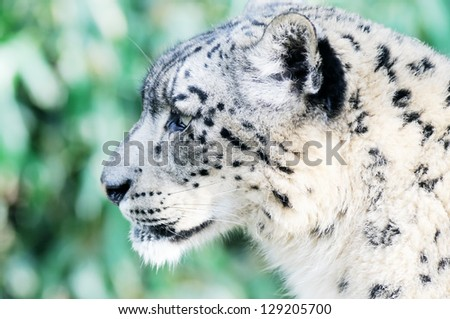 Snow leopard face side - photo#8