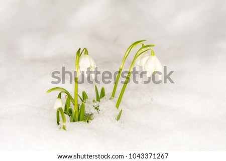 Closeup of snowdrop flowers in the snow