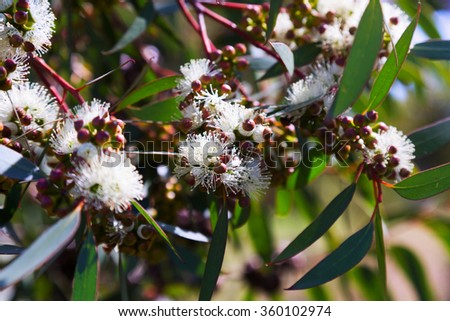 Closeup of   soap mallee leaves (Eucalyptus diversifolia)  plant  with flowers - stock photo