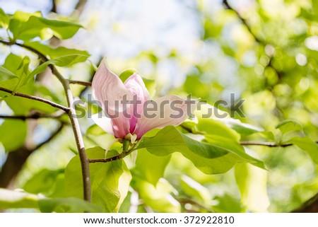 Closeup View Purple Blooming Magnolia Beautiful Stock Photo ...