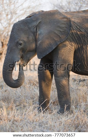 closeup of solitary african savanna elephant eating and grazing from the dry grasses