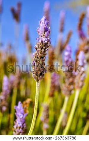 closeup of some lavender flowers in the field - stock photo