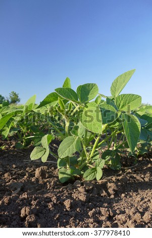 Closeup of soy bean plant in field with  blue sky,  spring time