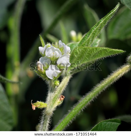 Closeup of soy plant flower in spring - stock photo