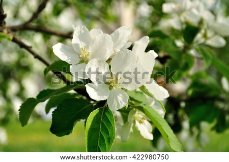 Closeup of spring apple flowers in blossom lit by soft sunlight- spring floral background. Apple tree branch in the spring sunny garden. Selective focus at the central flower.  - stock photo