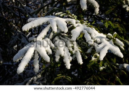 closeup of spruce branch covered with snow