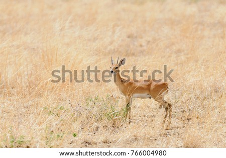 "Closeup of Steenbok (scientific name: Raphicerus campestris , or ""Funo or Tondoro"" in Swaheli) image taken on Safari located in the Tarangire, National park in the East African country of Tanzania"