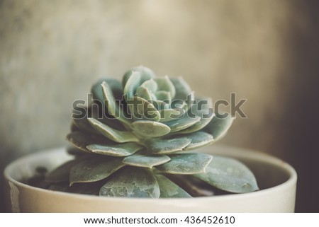 Closeup of Succulent plants with toned colour and selective focus,vintage style - stock photo