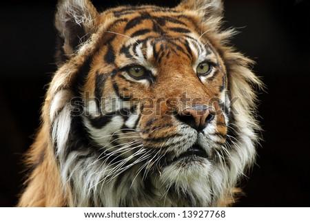 Closeup of Sumatran Tiger on black background. - stock photo