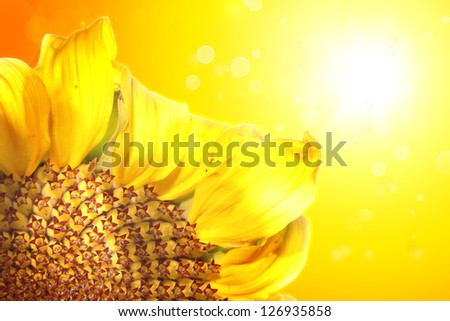 Closeup of sunflower and yellow background - stock photo